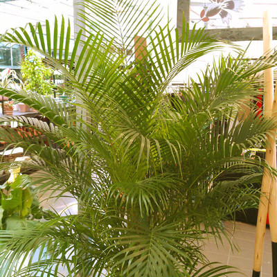 Arecapalm (Dypsis lutescens)