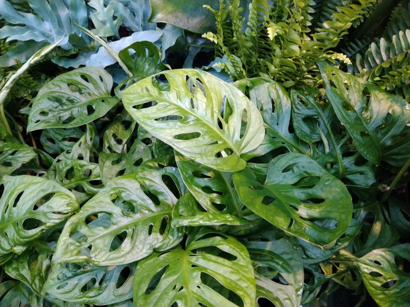 Rimpelgatenplant (Monstera adansonii)