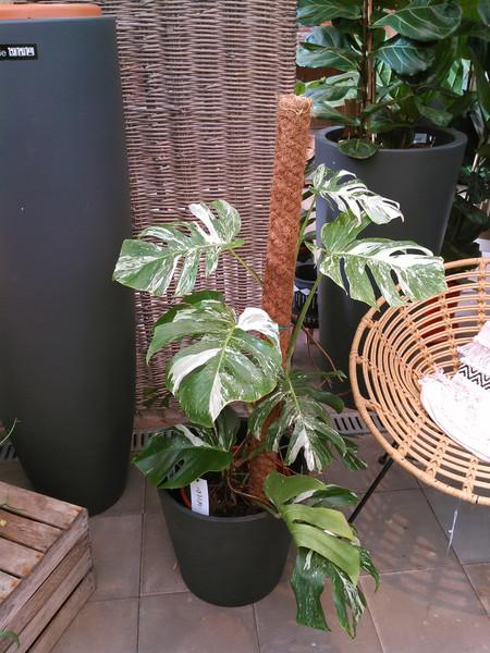 Gepanacheerde gatenplant (Monstera deliciosa 'Variegata')