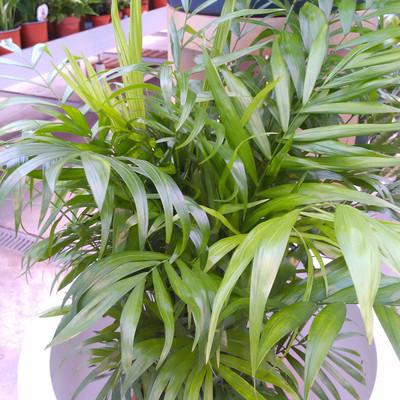 Mexicaanse dwergpalm (Chamaedorea elegans)