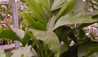 Vissenstaartpalm (Caryota mitis)