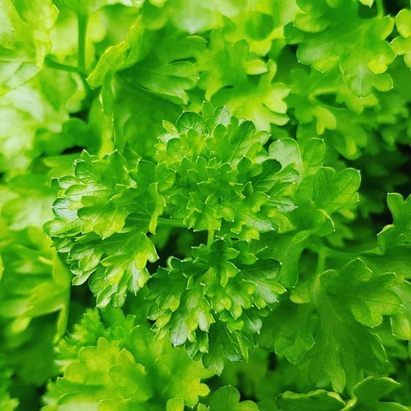 Peterselie (Petroselinum crispum)