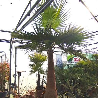 Mexicaanse waaierpalm (Washingtonia robusta)