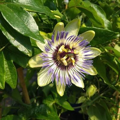 Passiebloem (Passiflora spp.)