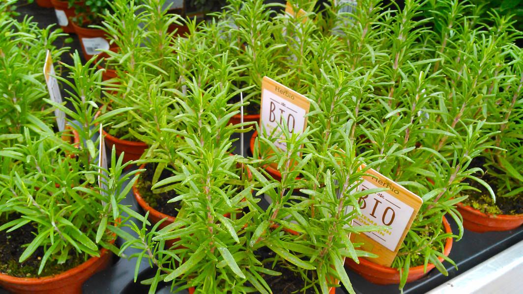 Rozemarijn (Salvia rosmarinus)