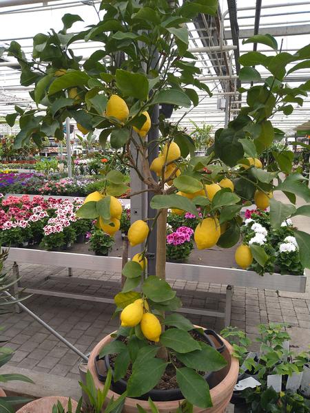 Citroen (Citrus limon)