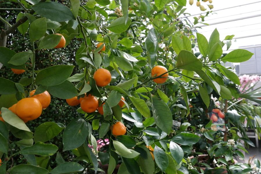 Mandarijn (Citrus reticulata)