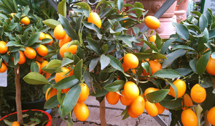 Chinese kumquat (Citrus japonica)