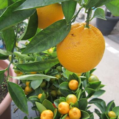 Appelsien (Citrus sinensis)