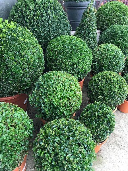 Buxus (Buxus sempervirens)