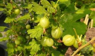 Stekelbes (Ribes uva-crispa)