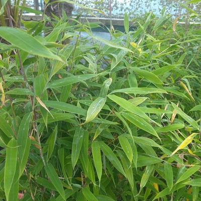 Bamboe (Fargesia spp.)