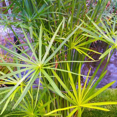 Parapluplant (Cyperus alternifolius)