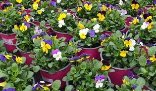 Viooltje (Viola spp.)