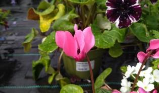 Cyclaam (Cyclamen spp.)