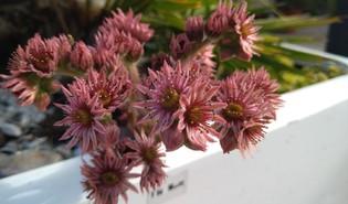 Huislook (Sempervivum spp.)