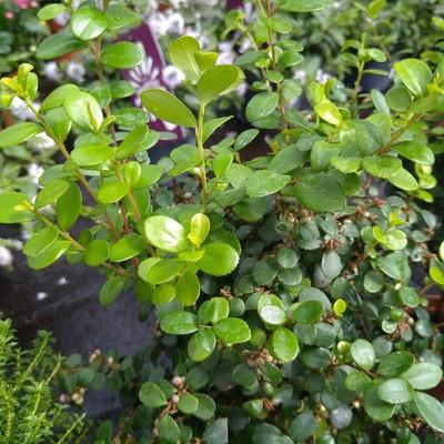 Afrikaanse buxus (Myrsine africana)