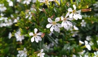 Mexicaanse heide (Cuphea hyssopifolia)