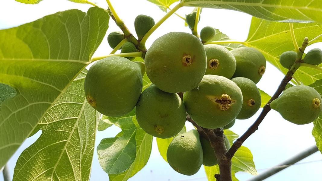 Vijgelaar (Ficus carica)