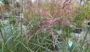 Chinees prachtriet (Miscanthus sinensis)
