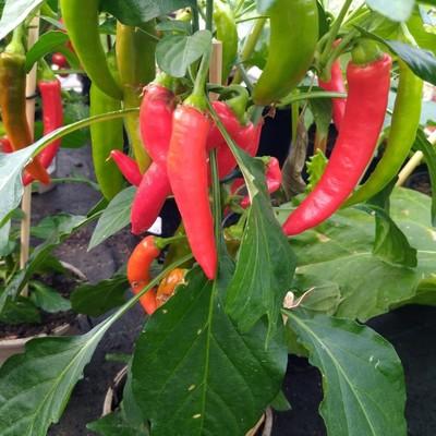 Rode peper (Capsicum spp.)