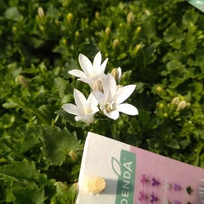 Dalmatiëklokje (Campanula portenschlagiana)