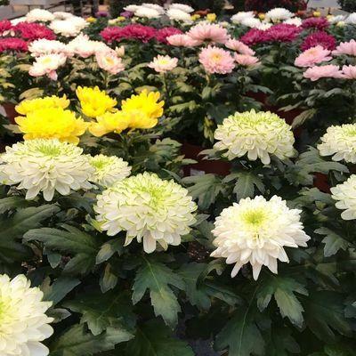 Chrysant (Chrysanthemum)