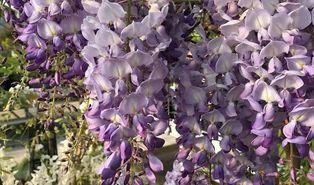 Blauweregen (Wisteria spp.)