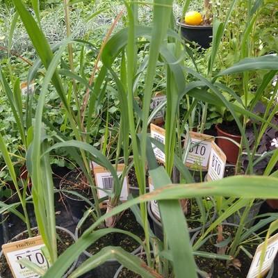Citroengras (Cymbopogon citratus)