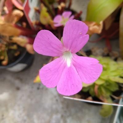 Vetblad (Pinguicula spp.)