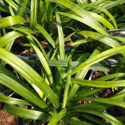 Leliegras (Liriope muscari)