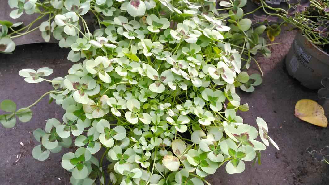 Klaver (Trifolium spp.)