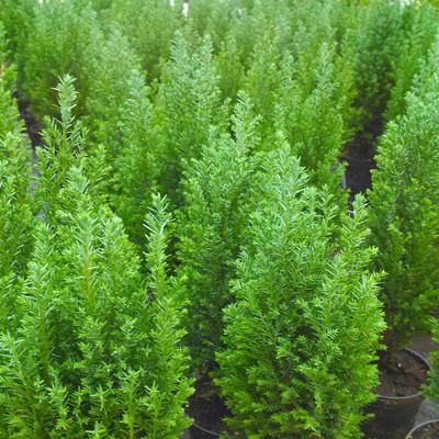 Schijncipres (Chamaecyparis spp.)