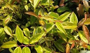 Druifheide (Leucothoe spp.)