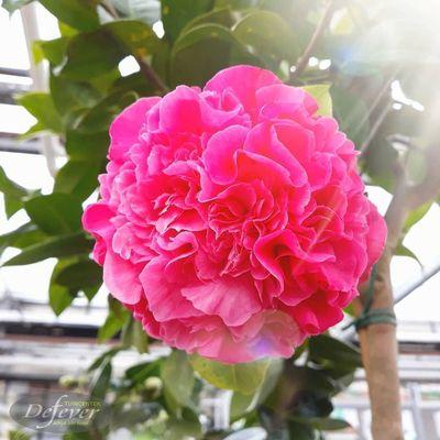 Camelia (Camellia)