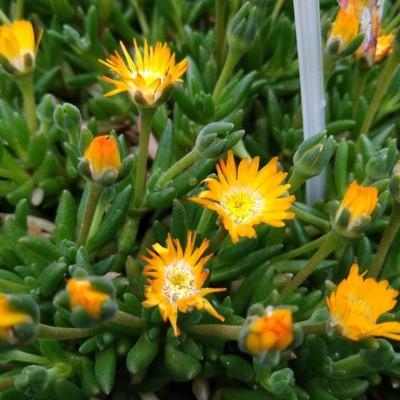 IJsbloem (Delosperma spp.)