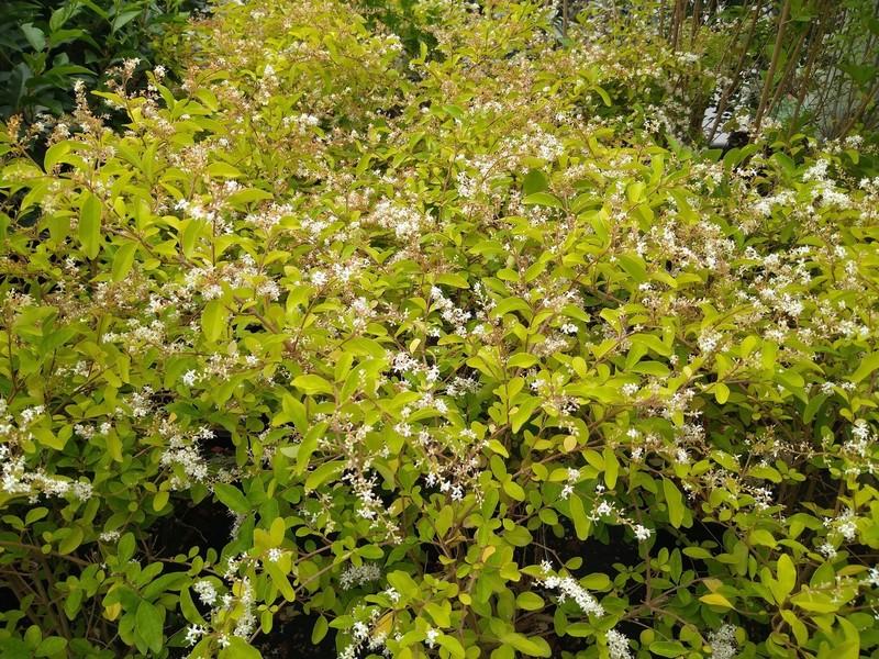 Liguster (Ligustrum spp.)