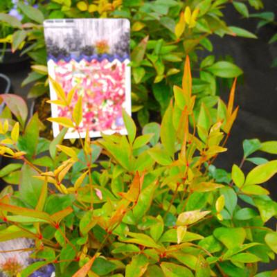 Hemelse bamboe (Nandina domestica)