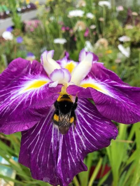 Iris (Iris spp.)