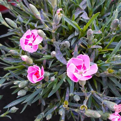 Anjer (Dianthus spp.)