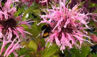 Bergamotplant (Monarda spp.)