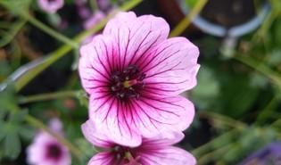 Ooievaarsbek (Geranium spp.)