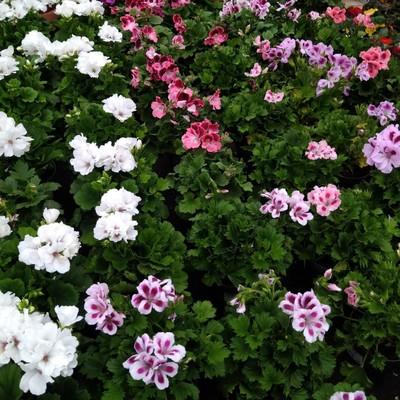 Geranium (Pelargonium spp.)