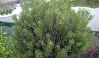 Den (Pinus spp.)