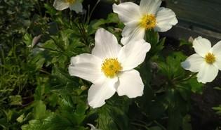 Anemoon (Anemone spp.)