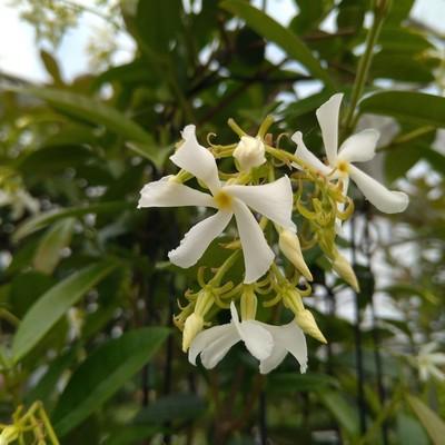 Toscaanse jasmijn (Trachelospermum jasminoides)