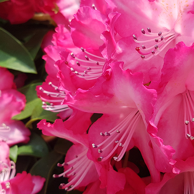 Rododendron (Rhododendron)