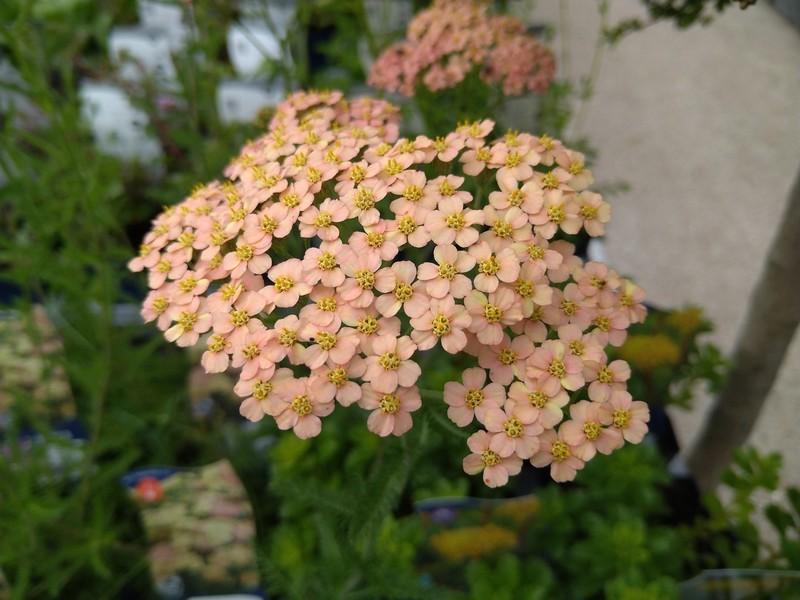 Duizendblad (Achillea spp.)
