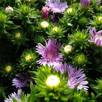 Korenbloemaster (Stokesia laevis)