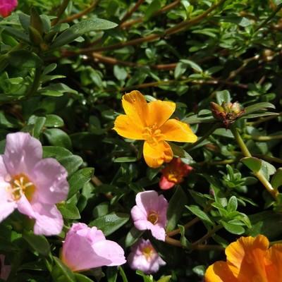 Portulak (Portulaca grandiflora)